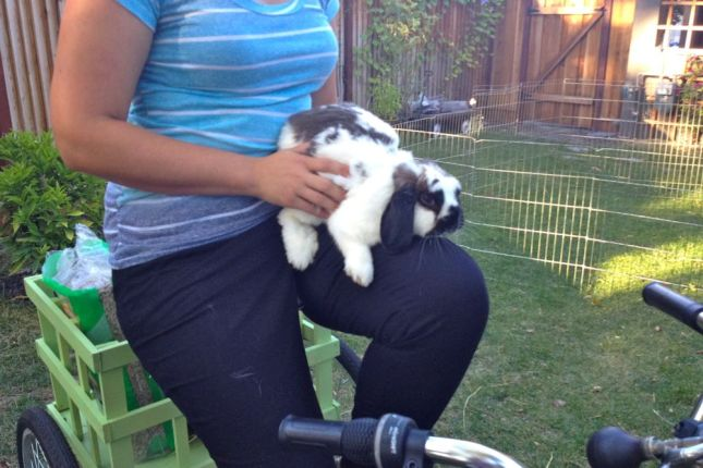 Cinnamon is a lop-eared cuddle bug. Jessica's bunnies have it good.